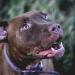 Athena - Pitbull Red Nose